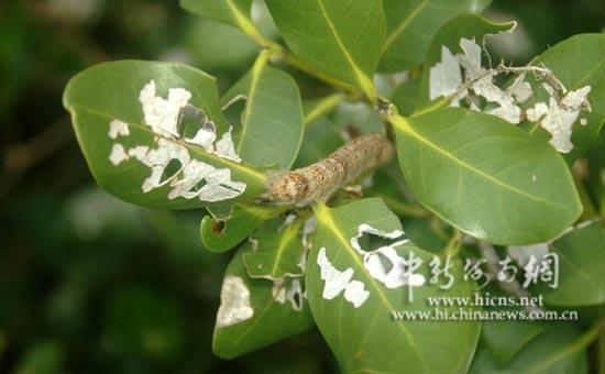 虫子啃食红树林的树叶