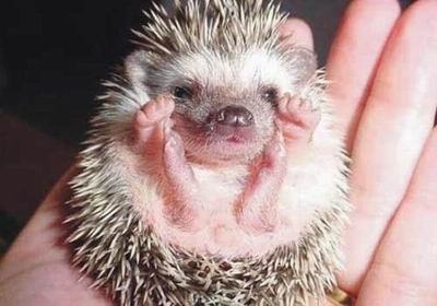 超可爱!刚刚出生的小刺猬[组图]