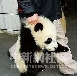 超级可爱的熊猫宝宝