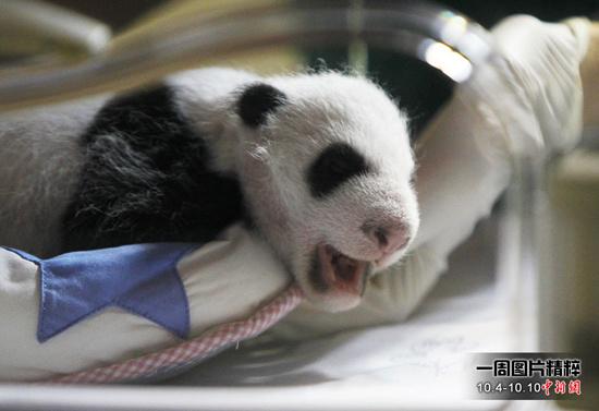 10月8日(周五),西班牙马德里动物园出生的两只人工受精的大熊猫幼崽第