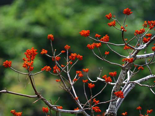 美丽梧桐树正月落叶,仲春开花,花开时就像穿上了红艳艳的盛装,在亚
