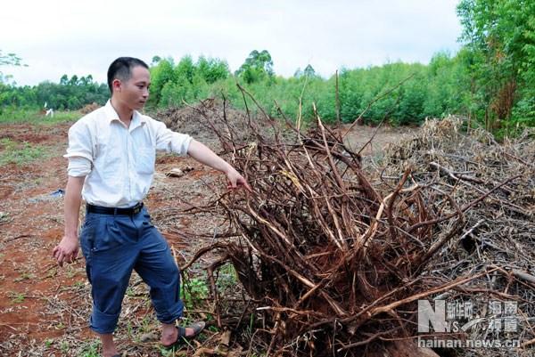 6月20日,海南临高县东英镇灵山村委会龙安村村民正在查看被砍伐的
