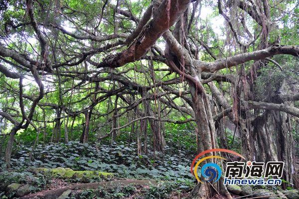 定安翰林镇:借亚洲榕树王 建森林氧吧乡村公园