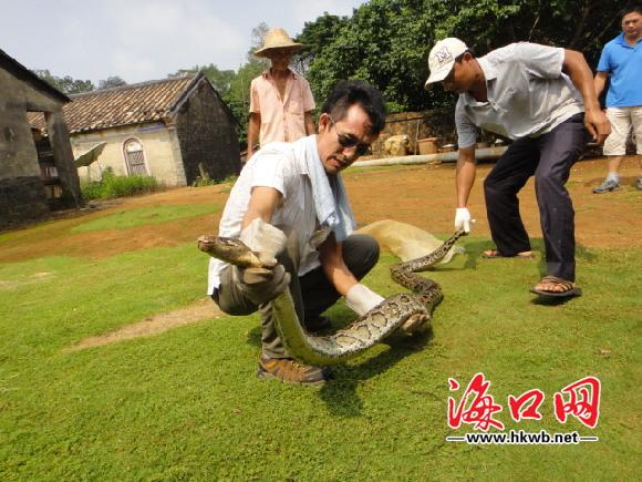 水田里挖出26斤大蟒蛇 村民拒出售放归森林