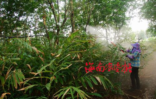 东昌农场500亩\阳春砂仁\普遍开花(图)