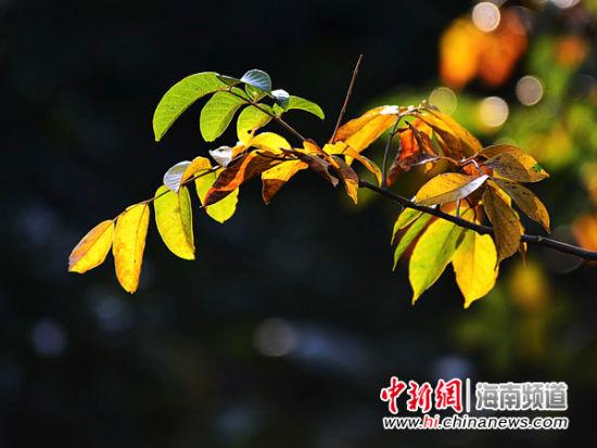 亚龙湾热带天堂森林旅游区的厚皮树叶子红艳美丽,点缀着亚龙岭这片