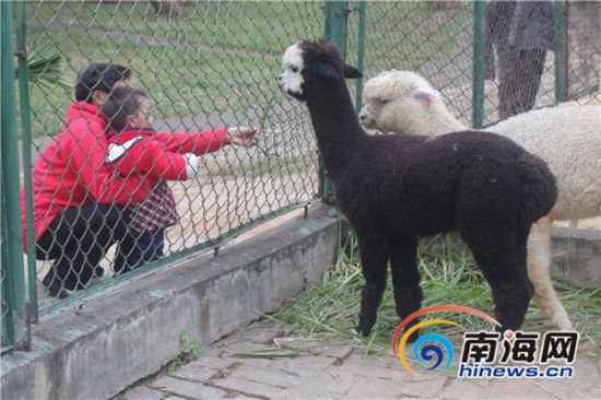 """小朋友在动物园内给呆萌的""""草泥马""""喂草"""