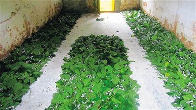 经省政府广州办事处牵线搭桥,海南中丝发展公司在琼中发展种桑养蚕.
