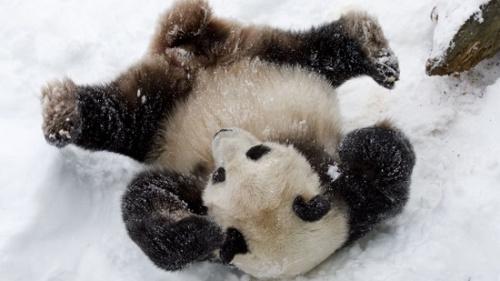 """史密森尼国家动物园公布的""""天天""""玩雪照片"""