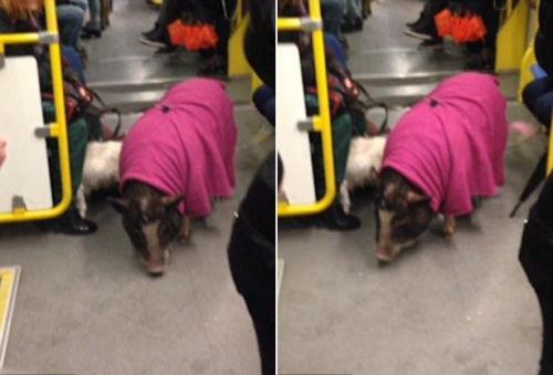 为了防止其乱跑,该猪的主人给它套上了宠物带.