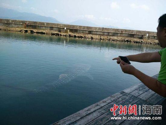 养护在分界洲岛海洋剧场暂养池中的鲸鲨