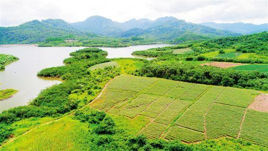 7月26日,白沙黎族自治县细水乡坡生村种植的185.8亩金菠萝长势喜人.
