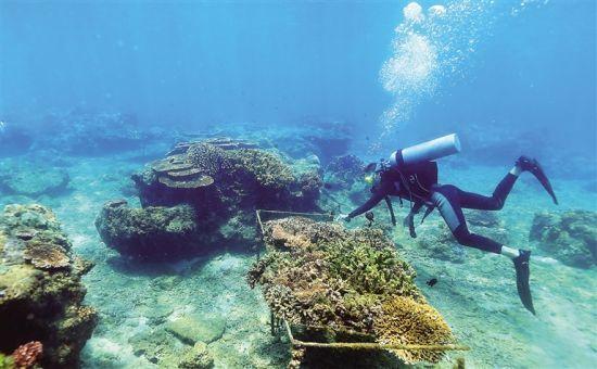 工作人員在陵水分界洲島旅游區海洋牧場巡檢珊瑚生長情況.