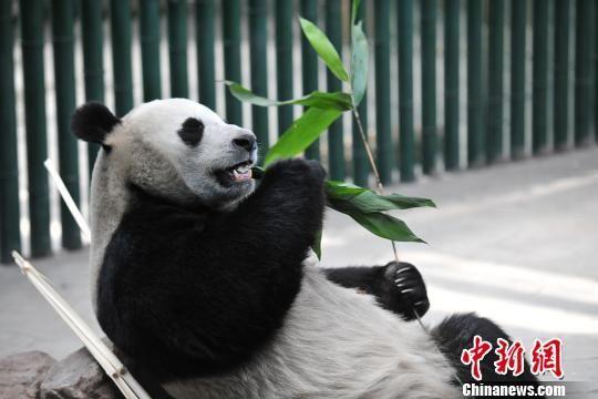 4月25日,大熊猫浦浦在熊猫馆玩耍。4月24日晚,沈阳森林动物园官方微博发布声明称,8个月前,大熊猫冰清、冰华、浦浦、发发定居沈阳森林动物园,当时对外公布称四只大熊猫为一雄三雌。然而,2018年4月,中国大熊猫保护研究中心和沈阳森林动物园发现,深受游客喜爱的千金浦浦,其实是一只雄性大熊猫。