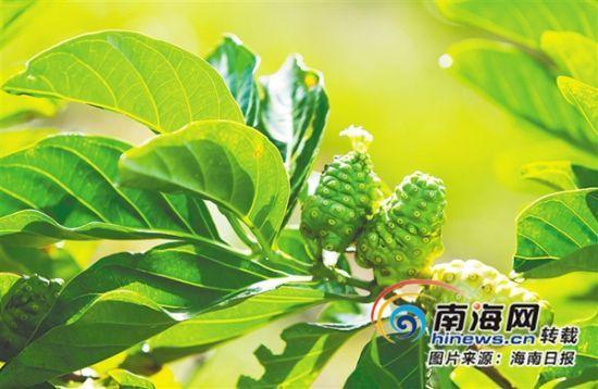 调查中发现,海南岛药食同源植物种类繁多.