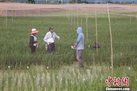 图为海南三亚的南繁育种。(资料图片) 王晓斌 摄