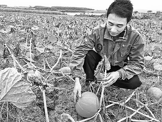 近日,儋州市海头镇2000亩小红南瓜丰产不丰收,遭遇滞销,让不少种植户