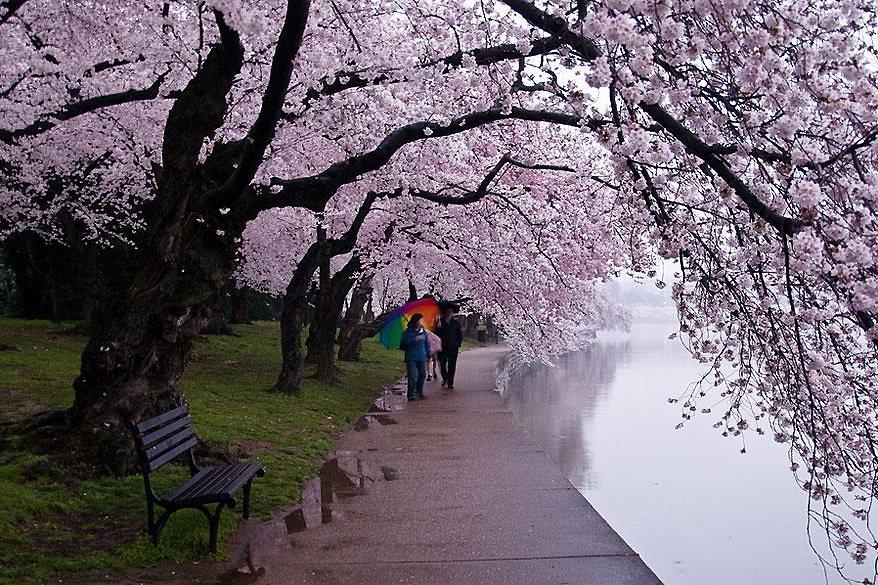 全球最美樱花祭(9)