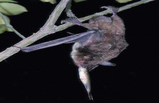 蝙蝠睡觉的时候头朝下,因为他们的是帮不够强壮,不能让自己从地面