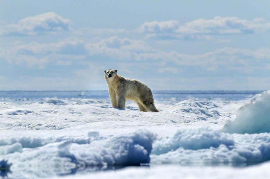 西雅图籍摄影师Paul Souders凭借其精彩的水中北极熊系列摄影作品荣获野生动物摄影大赛年度大奖。这组照片以前所未有的拍摄角度向人们呈现了洁白世界里的北极熊,尤其是这个庞然大物游泳的萌照。   摄影师Paul Souders表示,拍摄过程中,他总是要慢慢靠近北极熊,有时还要目不转睛地盯着冰山,努力地在这个洁白的世界里寻找那个白色的庞然大物的踪迹。事实证明,冰山附近寻找白色的北极熊绝对是件非常非常困难的事情。Paul Souders补充道,有一次,我看到两只北极熊,一只就突然消失在白色的