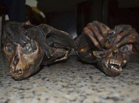 南宁缴获国家一级保护动物长尾叶猴干尸