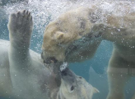 法国动物园北极熊水中嬉戏萌态尽显