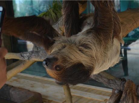 国内首次引进二趾树懒入住云南野生动物园