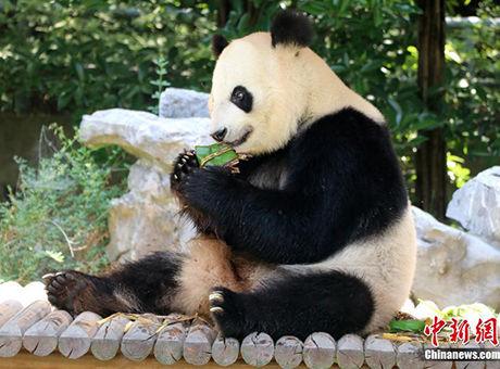 扬州一动物园大熊猫品尝粽子迎端午