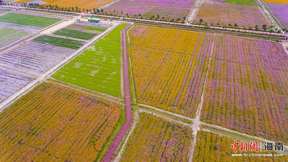 三亚海棠湾国家水稻公园千亩花海争相绽放(5)