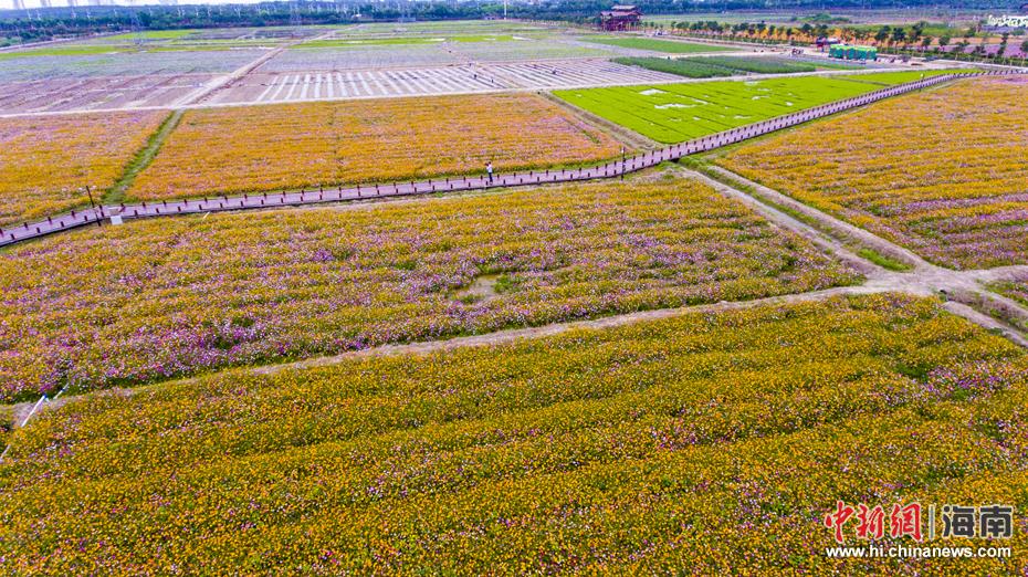 三亚海棠湾国家水稻公园千亩花海争相绽放(8)