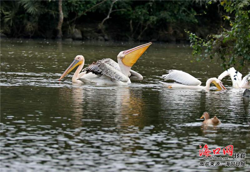龙泉镇吸引国家二级保护动物白鹈鹕飞落. 通讯员 张洪斌 摄
