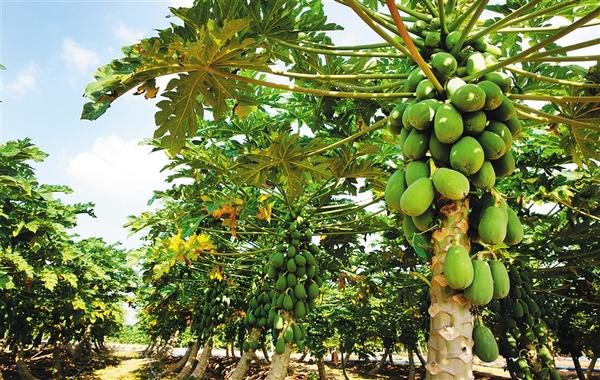 番木瓜施用有机肥的方法