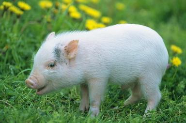 杜振林家的猪圈里很是热闹,有即将生崽的母猪,也有长得膘肥体壮即将